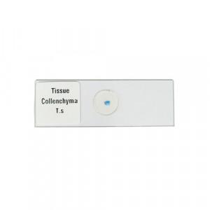 PREPARED SLIDE FOR MICROSCOPE, PLANT TISSUE:-Collenchyma