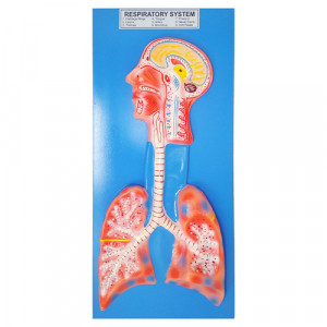 """HUMAN RESPIRATORY SYSTEM, Superior Model on Board 22""""x12"""""""
